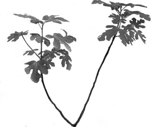 Fig-Tree4.jpg