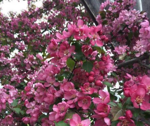 Garofalo-Apple-blossoms.jpg