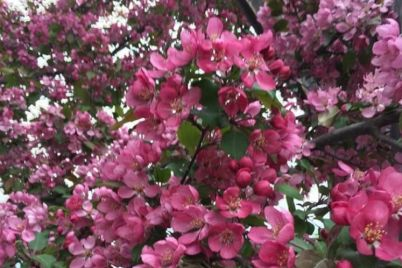 Garofalo-Apple-blossoms.jpg