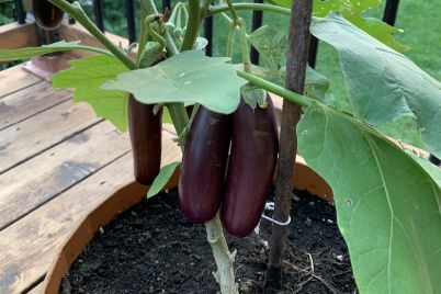 eggplant-plant-DC.jpg